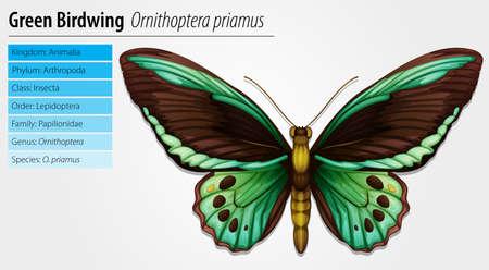wingspan: Verde Birdwing farfalla - Ornithoptera primus Vettoriali