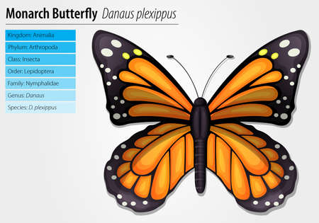 nymphalidae: Monarch butterfly - Danaus plexippus Illustration