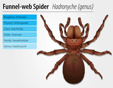Australian funnel-web spider - Hexathelidae Stock Vector - 15915230