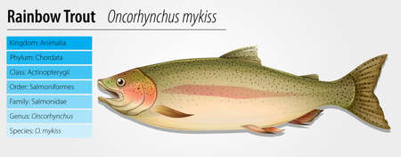 rainbow trout: Illustration of Rainbow Trout - Oncorhynchus mykiss Illustration