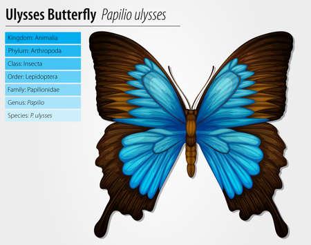 tekening vlinder: Blue Mountain Swallowtail vlinder - Papilio ulysses