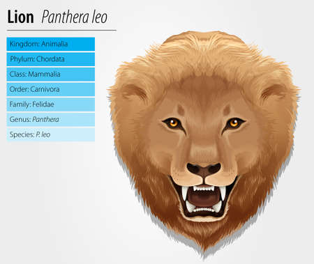 Illustration of a lion - Lion - Pathera leo Stock Vector - 15915232