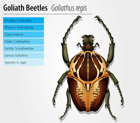 escarabajo: Gothiath escarabajo - Goliathus regius Vectores