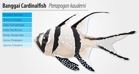 Banggai cardinalfish - Pterapogon kauderni Stock Vector - 15915135