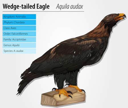 wedgetailed: Wedge-tailed Eagle - Aquila audax Illustration