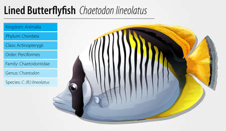 butterflyfish: Lined butterflyfish - Chaetodon lineolatus Illustration