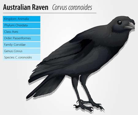 aves: Australian Raven - Corvus coronoides