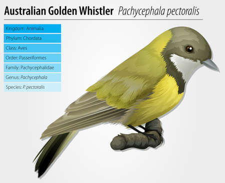 species plate: Illustration of golden whistler - Pachycephala pectoralis