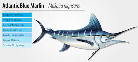 Atlantic blue marlin - Makaira nigricans Stock Vector - 15915148