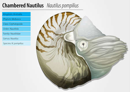 species living: Illustration of a chambered nautilus - Nautilus pompilius