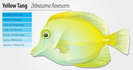 Yellow Tang - Zebrasoma flavescens Vector