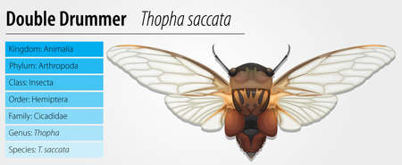 cicada: Illustration of a Double Drummer cicada (Thopha saccata)