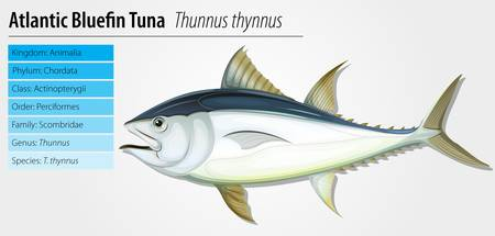 chordata: Atlantic bluefin tuna - Thunnus thynnus