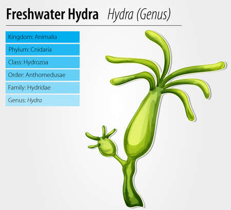 budding: Freshwater hydra - Hydra genus Illustration