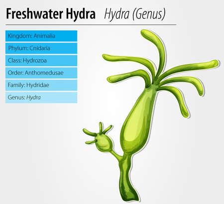 freshwater: Freshwater hydra - Hydra genus Illustration