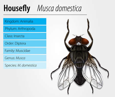 species plate: Common housefly - Musca domestica