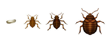 bed: Illustration of the bed bug life cycle on a white background Illustration