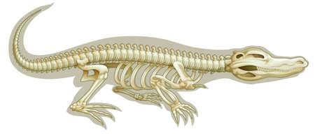 animalia: Illustration of a Crocodile skeletal system on a white background Illustration
