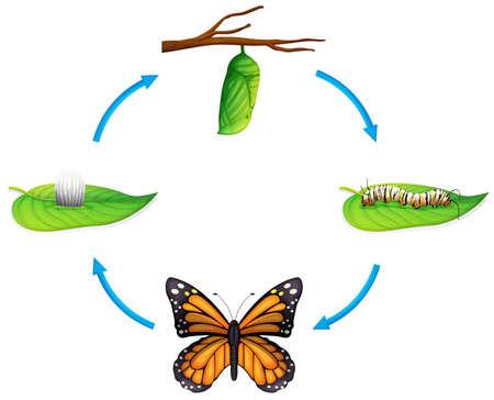 oruga: Ilustración del ciclo de vida de un Danaus plexippus sobre un fondo blanco