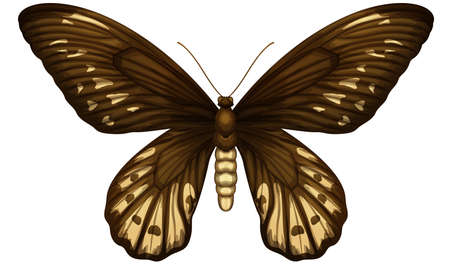 insecta: Illustration of a Queen Alexandras birdwing on a white background