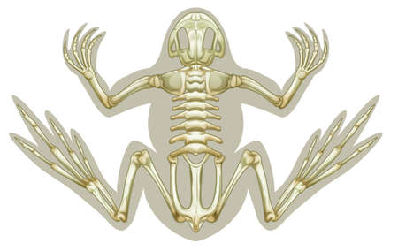 bones of the foot: Illustration of a Frog skeletal system on a white background Illustration