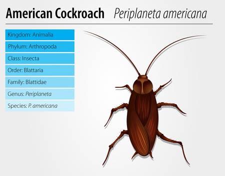americana: Illustration of a Periplaneta Americana on a white background Illustration