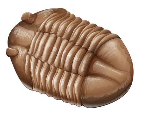 fossil: Ilustraci�n de un Trilobite f�sil en un fondo blanco