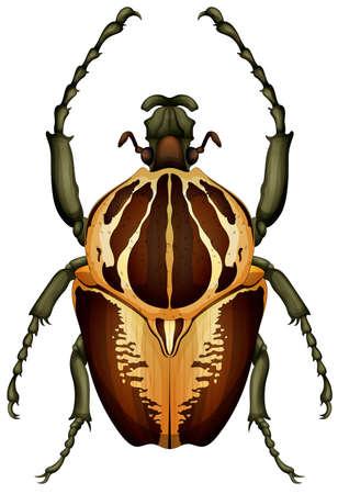 scarabeo: Illustrazione di un regius Goliathus scarabeo su uno sfondo bianco