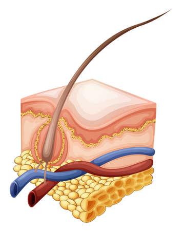 follicle: Ilustraci�n de una epidermis sobre un fondo blanco Vectores