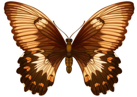 specimen: Illustration of a Papilio aegeuson a white background Illustration