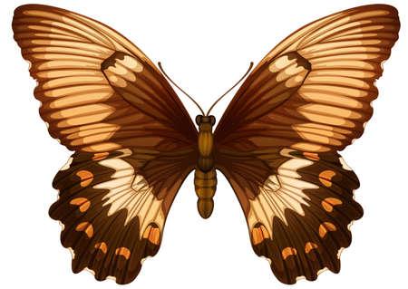 insecta: Illustration of a Papilio aegeuson a white background Illustration
