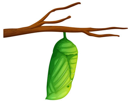 cocoon: Illustration of a Danaus plexippus on a white background