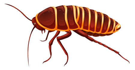 Illustration of an Anamesia giant cockroach on a white background Stock Vector - 16053303