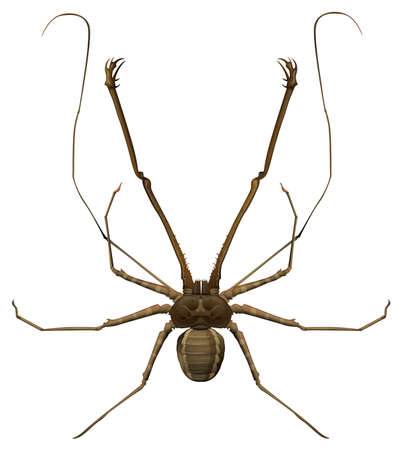 insecta: Illustration of a Amblypygi genus on a white background Illustration