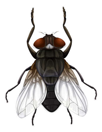 musca domestica: Illustration of a Musca domestica on a white background Illustration