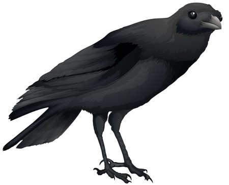 black beak: Illustration of a Corvus coronoides on a white background Illustration