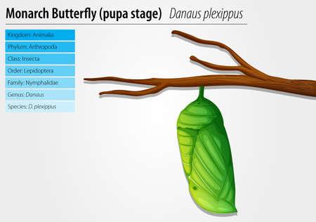 capullo: Ilustración de la mariposa monarca pupa etapa
