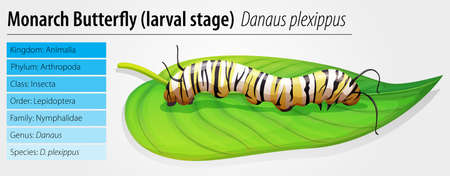 reproduce: Illustration of the monarch butterfly larva stage