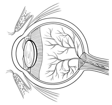 cornea: Outline illustration of the human eye anatomy