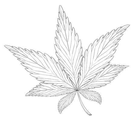 cannabis sativa: Illustration of the leaf of Cannabis sativa Illustration