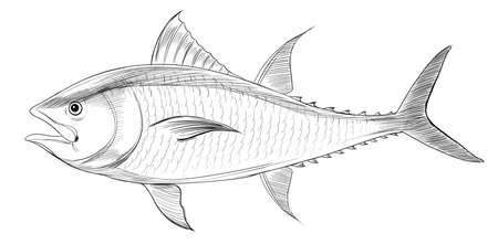 atun: Ilustración de un atún rojo del Atlántico (Thunnus thynnus)