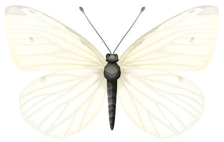 antennae: Illustration of Small White butterfly - Pieris rapae Illustration