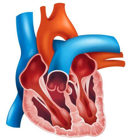 cutaway drawing: Illustrazione di una sezione trasversale di un cuore umano