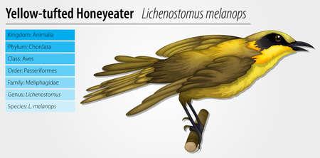 passerine: Illustration of a Lichenostomus melanops on a white background Illustration