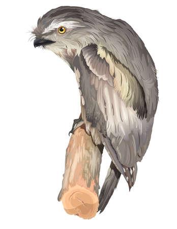 chordata: Tawny Frogmouth Owl - Podargus strigoides