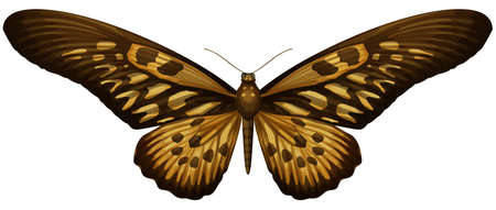 insecta: Illustration of Giant African Swallowtail - Papilio antimachus Illustration