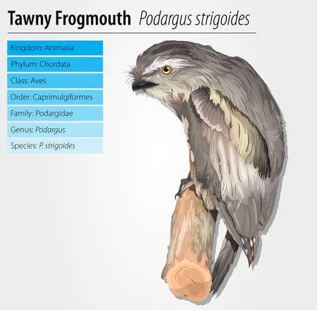 Tawny Frogmouth Owl - Podargus strigoides Stock Vector - 16214901