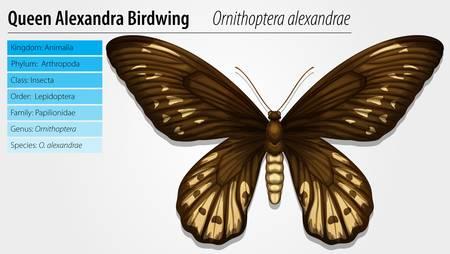 wingspan: Illustration of Queen Alexandras birdwing - Ornithoptera priamus