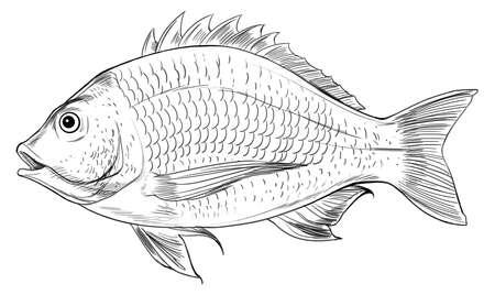 bream fish: Illustration of an Acanthopagrus butcheri on a white background Illustration