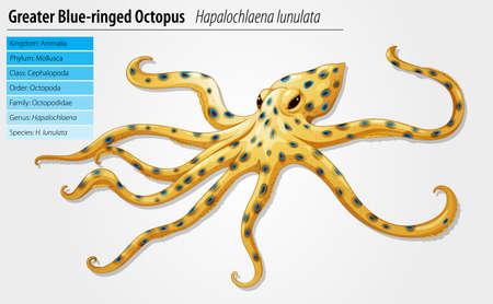 Blue-ringed octopus - Hapalochlaena lunulata species Vector